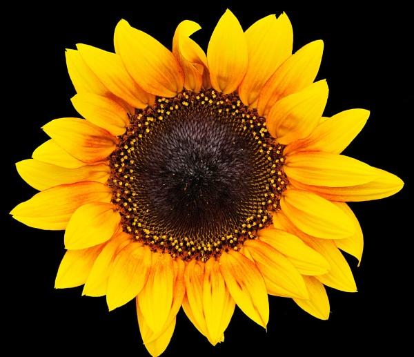 Sunflower II by suemason