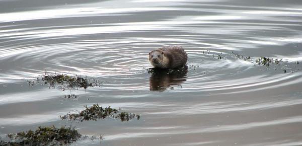 Otter II by Declanworld