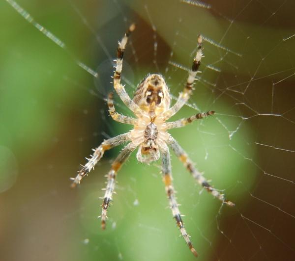 Spider by colmar