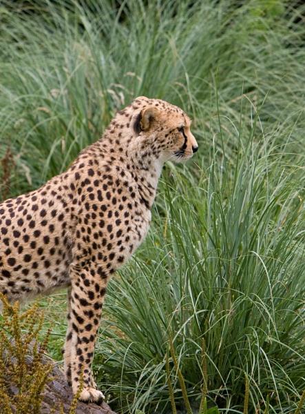 Cheetah Profile by EDWARDPARRISH