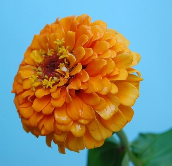 golden zinnia by CherryMartin