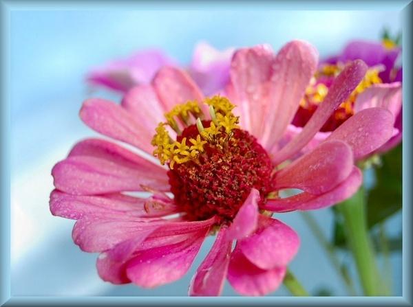 pink Zinnia by CherryMartin