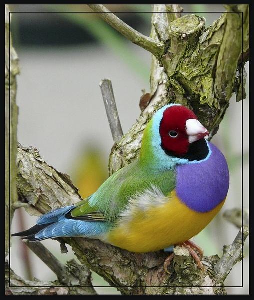 Gouldian Finch by Stevekriti