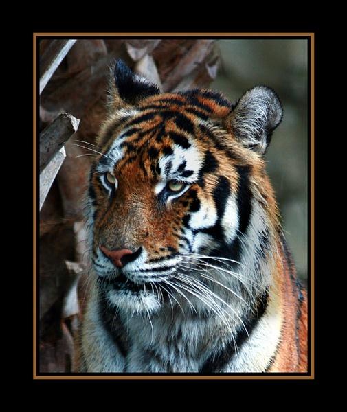 Tiger by gribishok