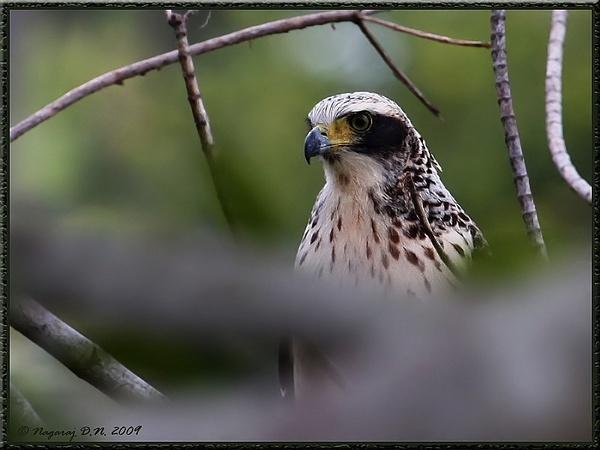 "\""Creasted Serpent Eagle -Juvenile\"" by nasoteya"