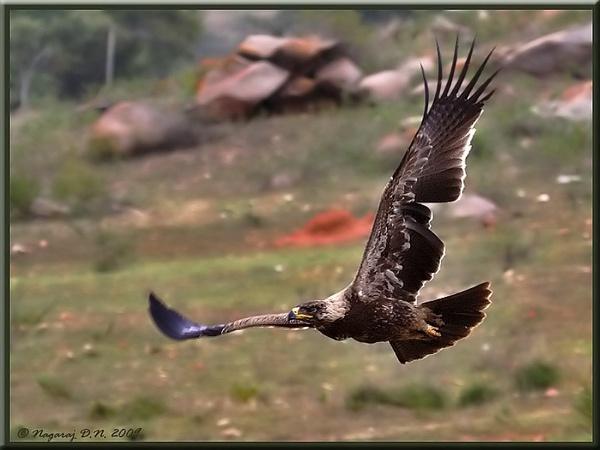 "\""Tawny Eagle in Flight\"" by nasoteya"