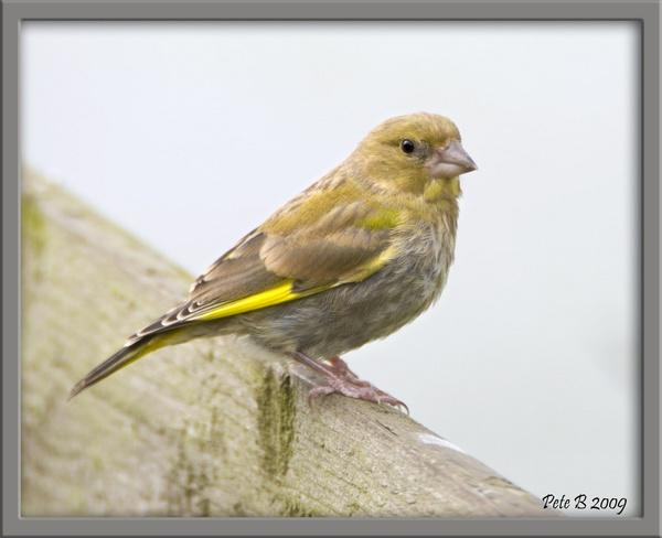 Greenfinch by pberridge