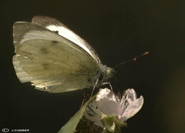 butterfly by jack33