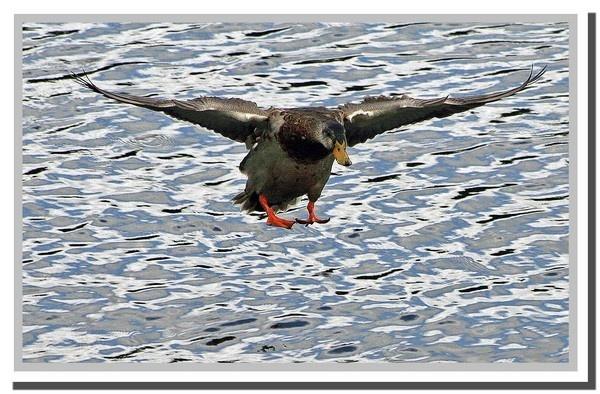 Flying duck by RobbieWales