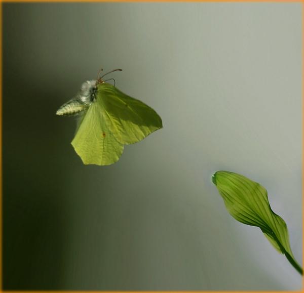 Gonepteryx rhamni by maratsuikka