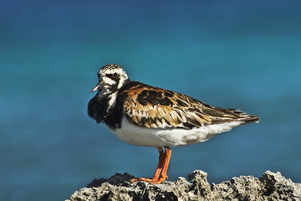 turnstone by mikepearce
