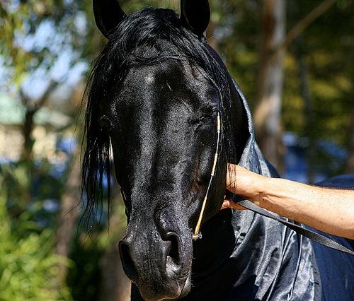 Arabian Stallion by x_posure