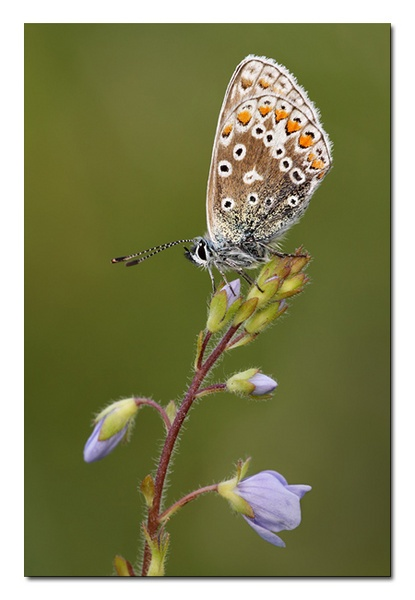 Common Blue Butterfly by Guy_Rogers
