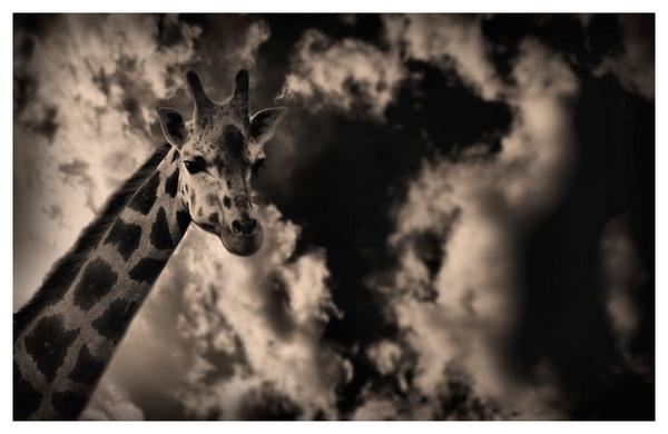 Giraffe by portia27493