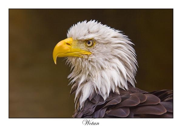 Bald Eagle (C) by paulrosser
