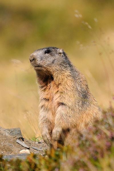 Marmot In Alert by Grassi