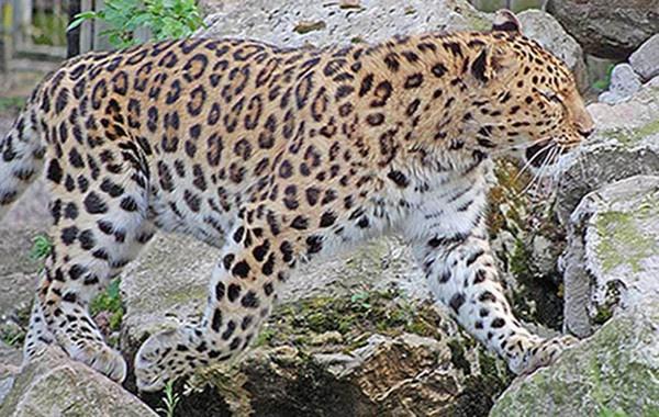 Amur Leopard by ianjames224