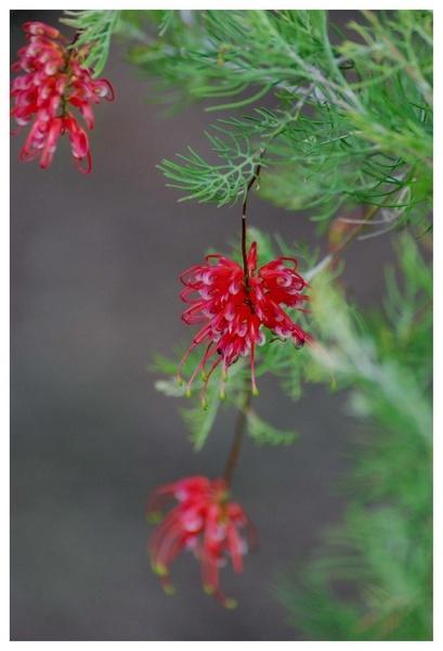 1st Dedicated flower shot by PaulinAus