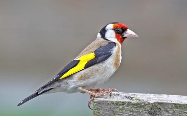 goldfinch by bazmorgan