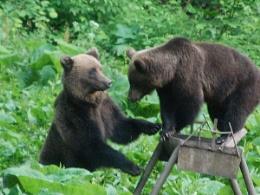 Wild Brown Bears