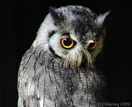 Scops owl 2