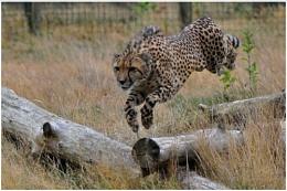 Cheetah after it's prey