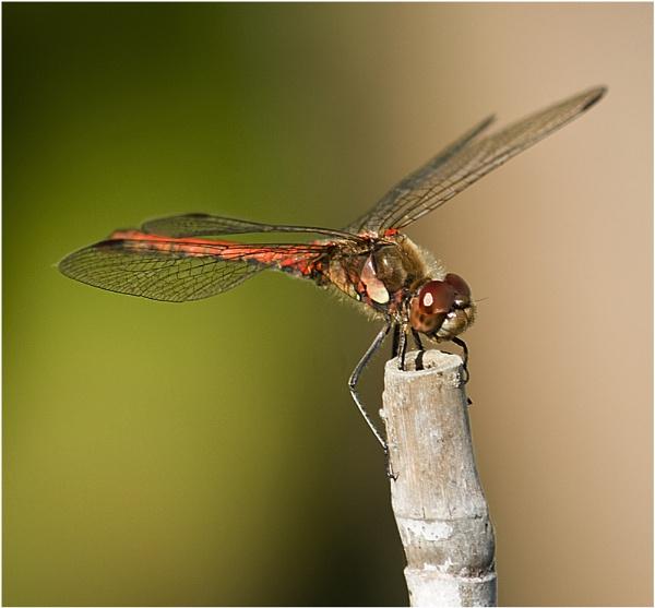Dragonfly by BarbaraB
