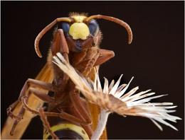 Precarious Hornet