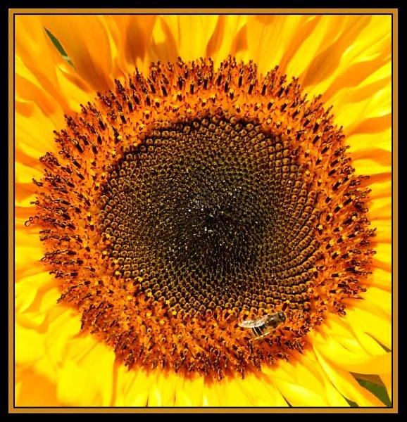 Heart of A Sunflower by m3lem