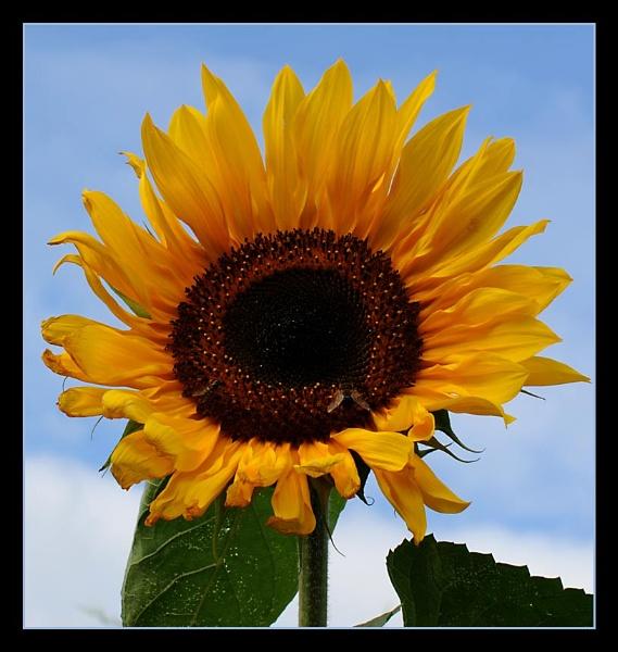 Sunflower by m3lem
