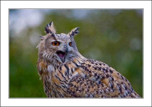 Siberian Eagle Owl by casson