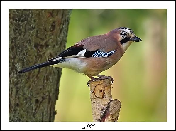 Jay by fatmod