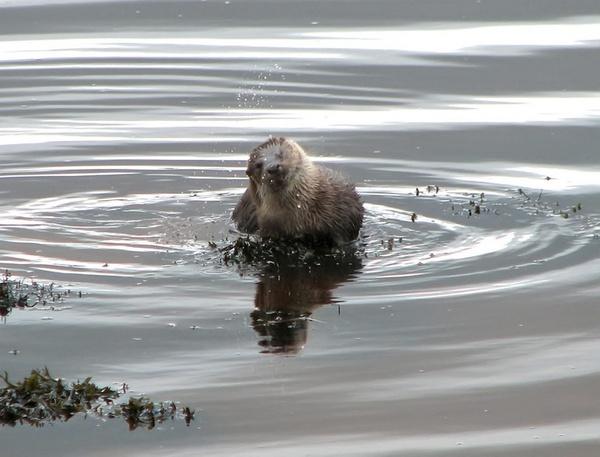 Otter III by Declanworld