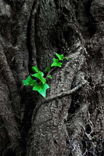 Creeping Ivy b&w by Ratcatcher