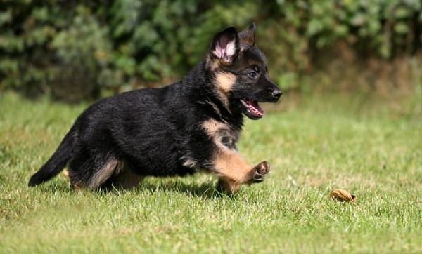 Puppy by KJackson