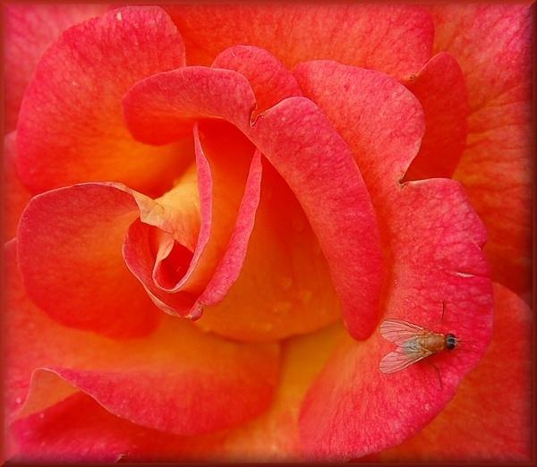 Orange rose by CherryMartin