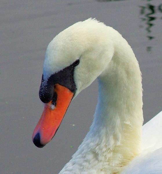 Portrait of a Swan by Paul-Collins