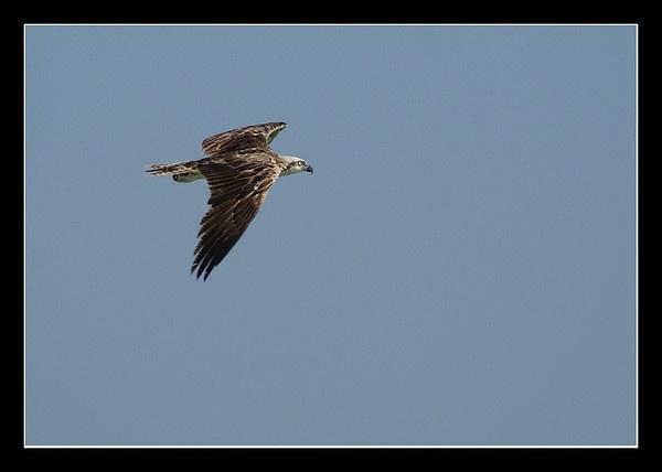 Osprey in flight by DanZed69