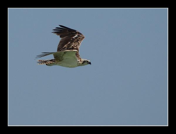 Osprey (again) by DanZed69