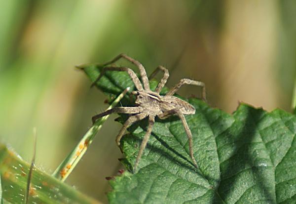 Spider ? by SiSheff