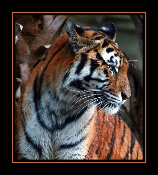 tiger 2 by gribishok