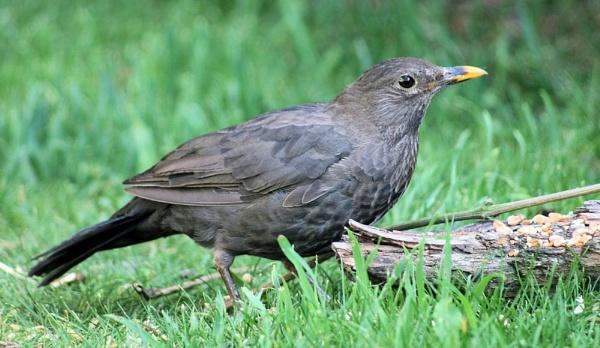 Mrs Blackbird by Kevhan