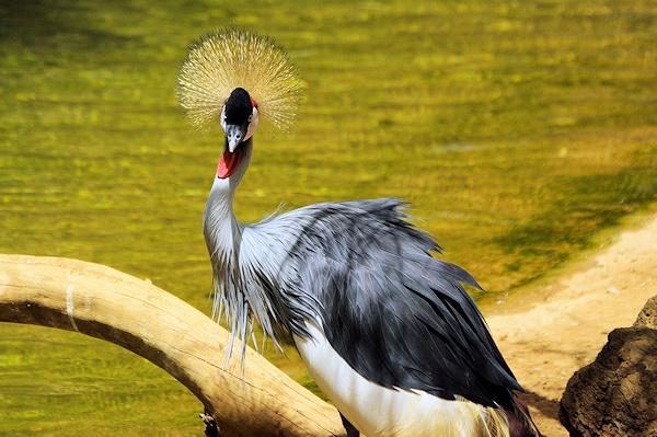 Grey Crown Crane by jackitec