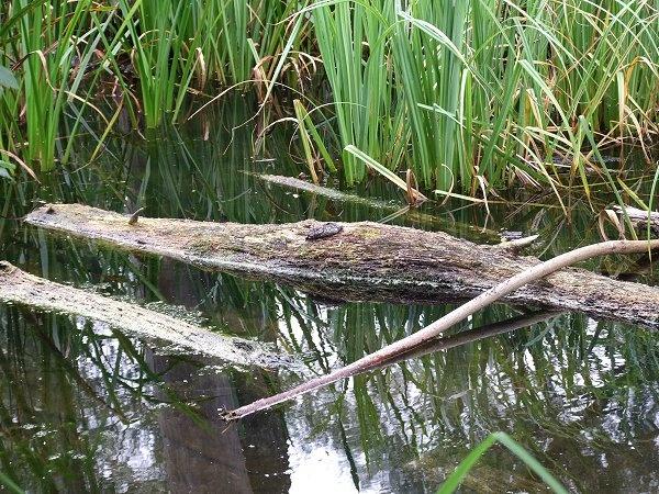 Is it a Crocodile? by REDWOLF