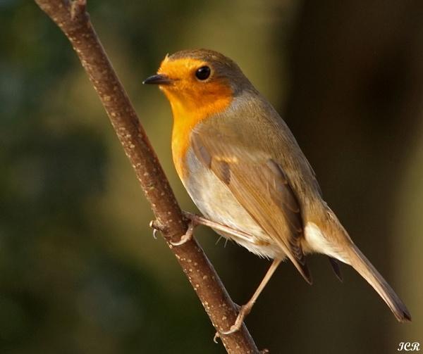 Robin by iancam