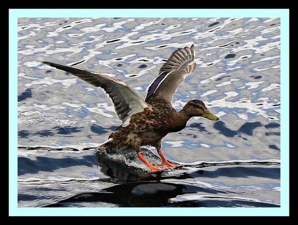 Duck by RobbieWales