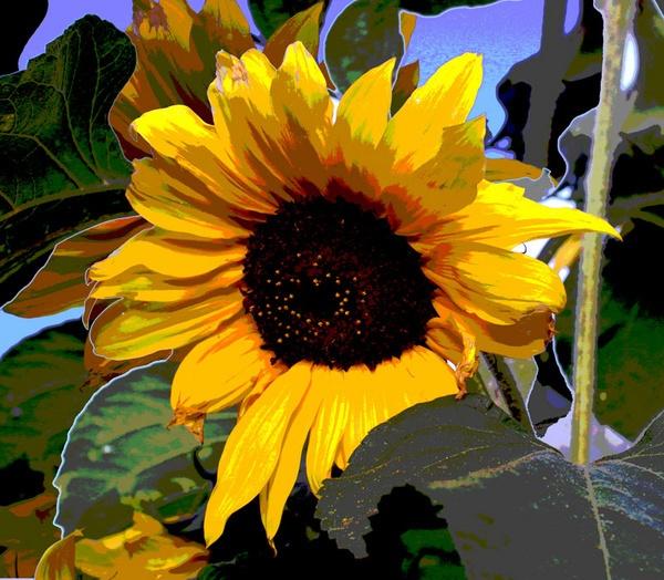 Sunflowers by marathonman