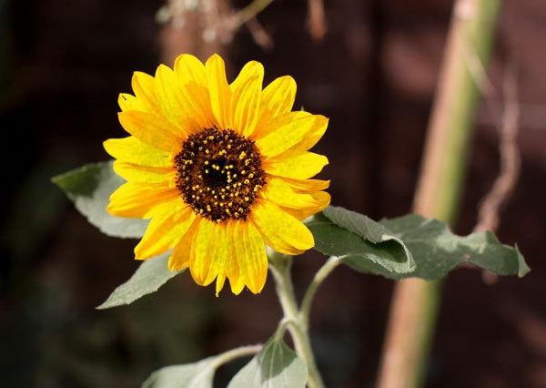 SUnflower by marathonman