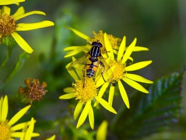 Hoverfly by HuntedDragon