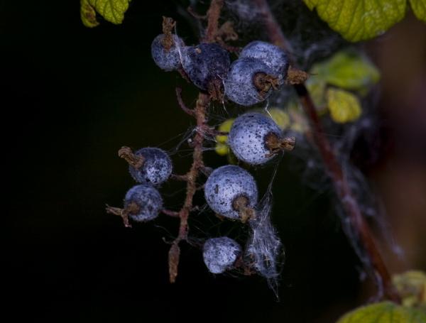 Berries by HuntedDragon